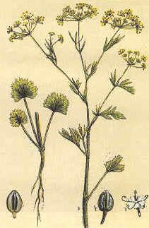 Anice – Pimpinella anisum