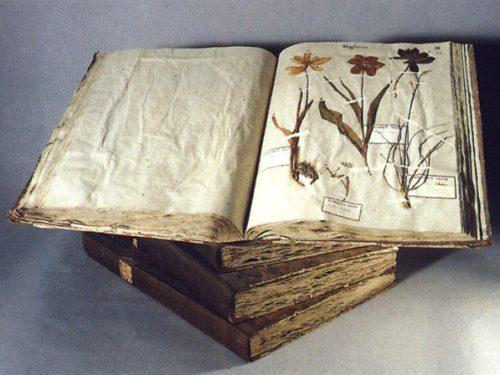 Aglio. Allium sativum L.