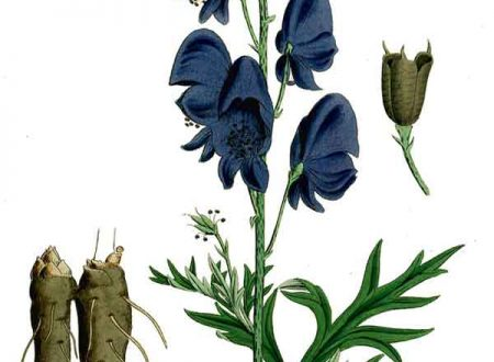 Aconito napello (Aconitum napellus)