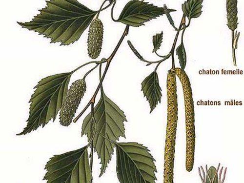Betulla. Betula pendula(oalba). L'albero delle fate